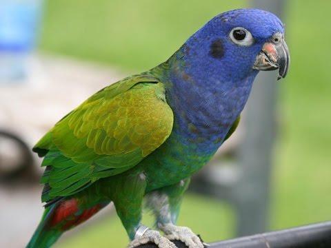 Синеголовый красногузый попугай