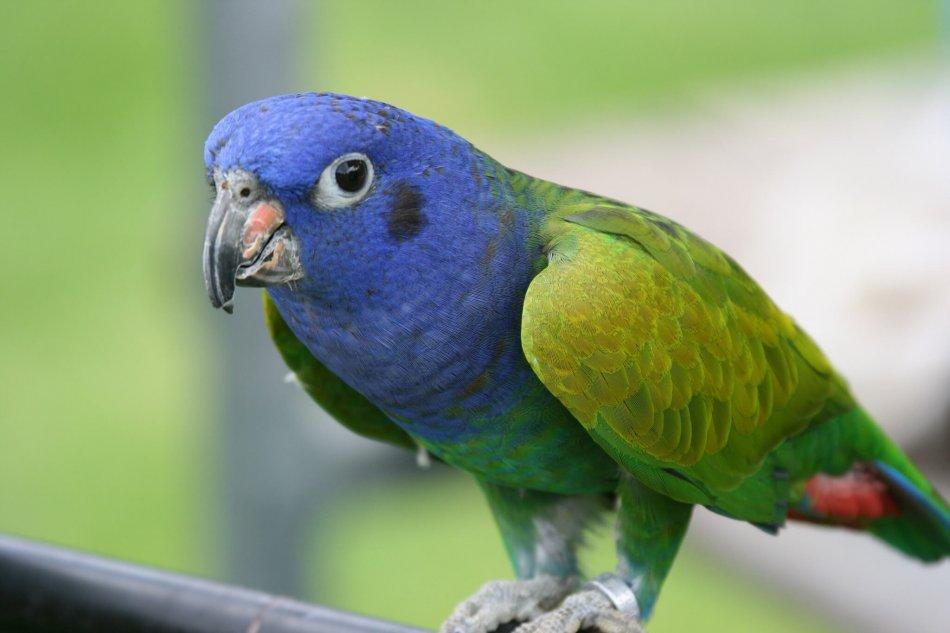 Синеголовый красногузый попугай фото