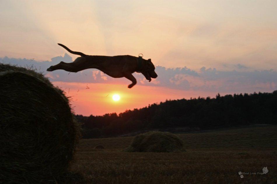 Американский питбуль прыгает фото