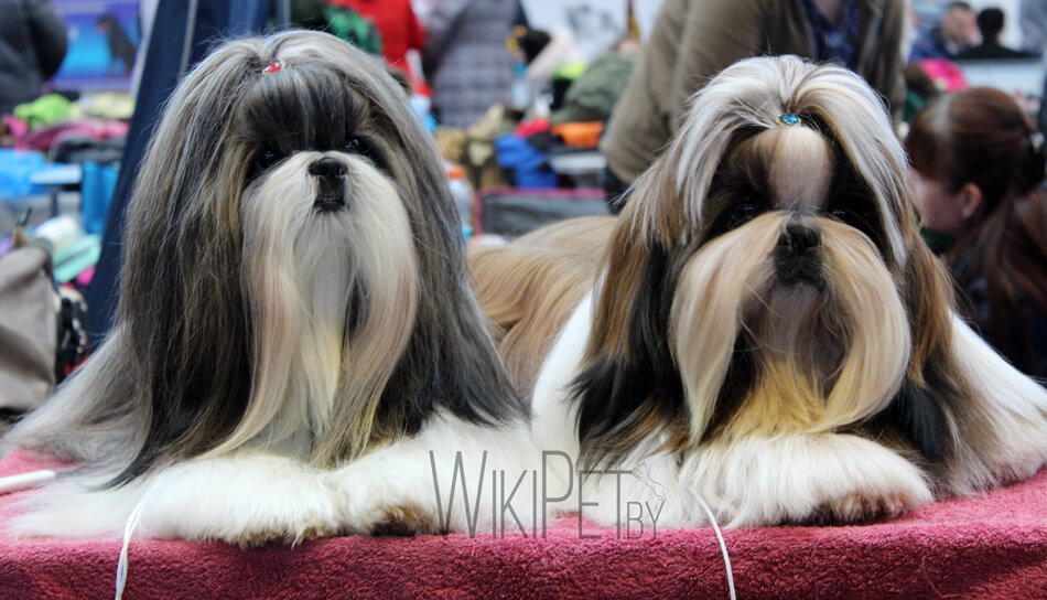 Собаки породы ши-тцу фото