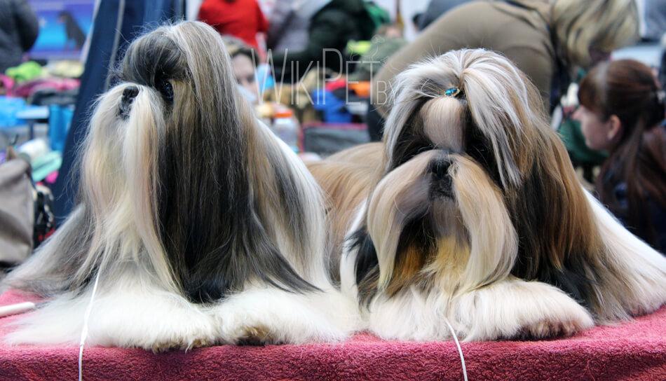 Собаки породы ши-тцу на выставке фото