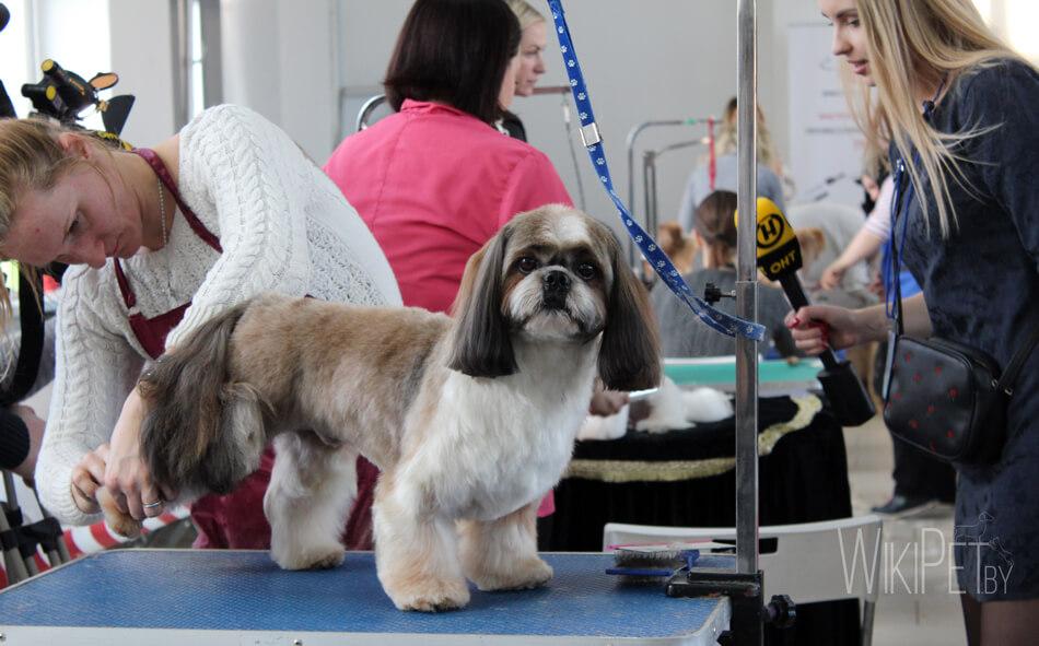 Груминг собаки породы ши-тцу фото