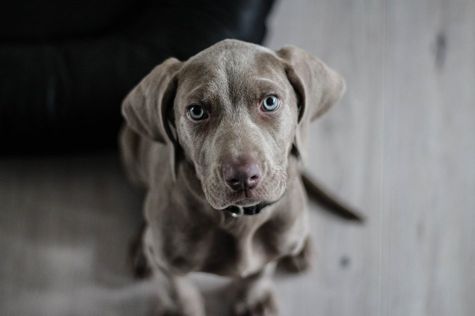 щенок веймаранера фото