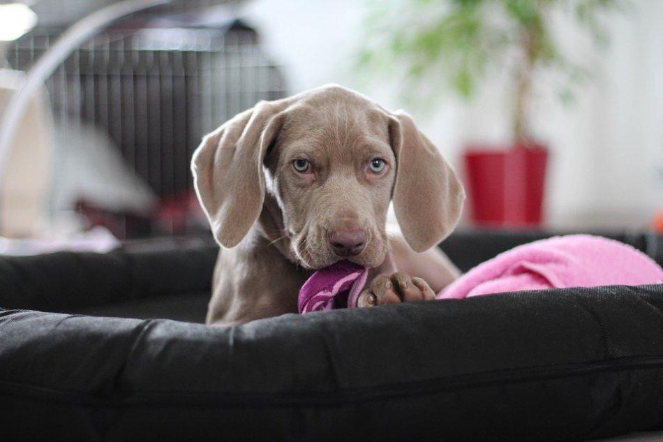 щенок веймарской легавой