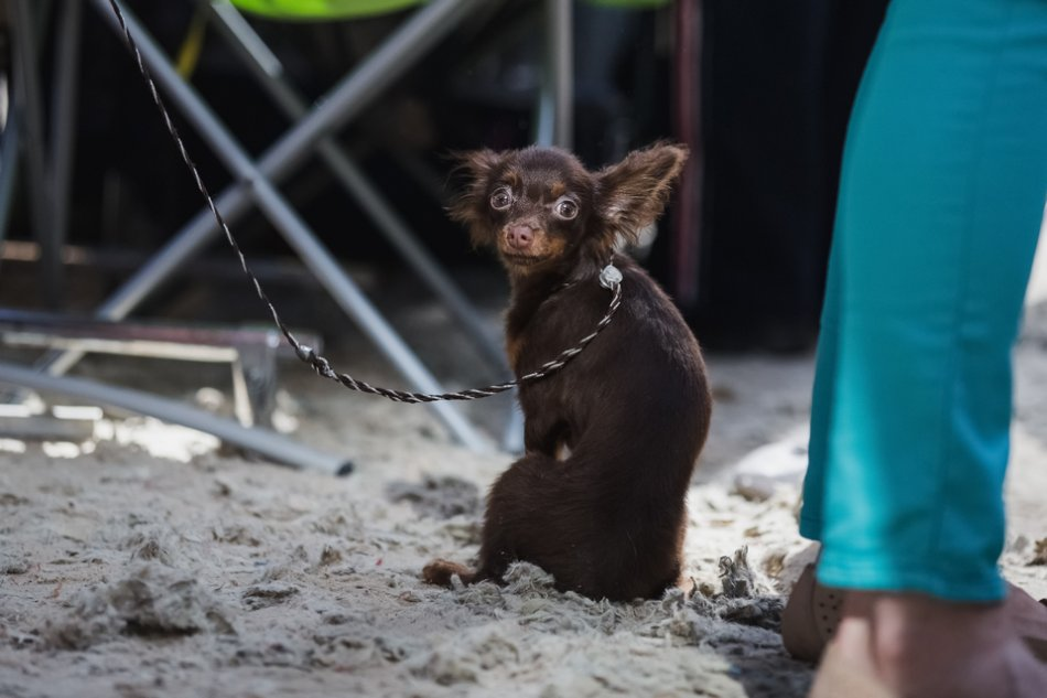 Собака породы чихуахуа фото