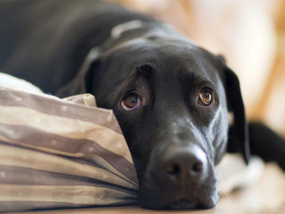 Грустная черная собака лежит на кровати фото