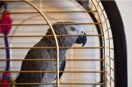 попугай,жако,домашнее животное