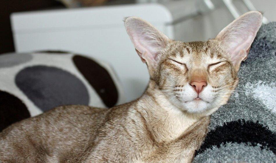 кошка ориентал фото