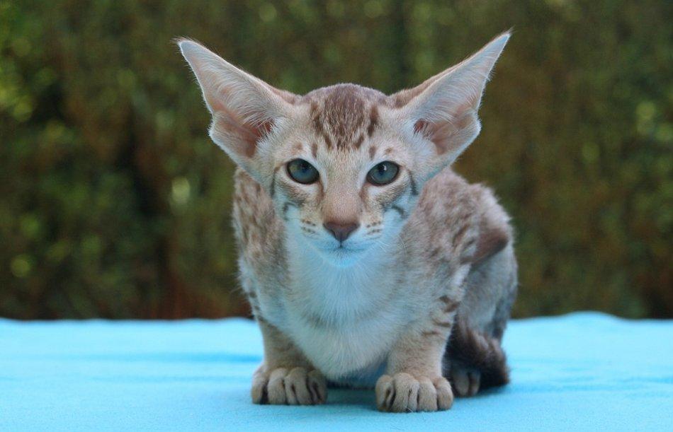 ориентальный кот фото