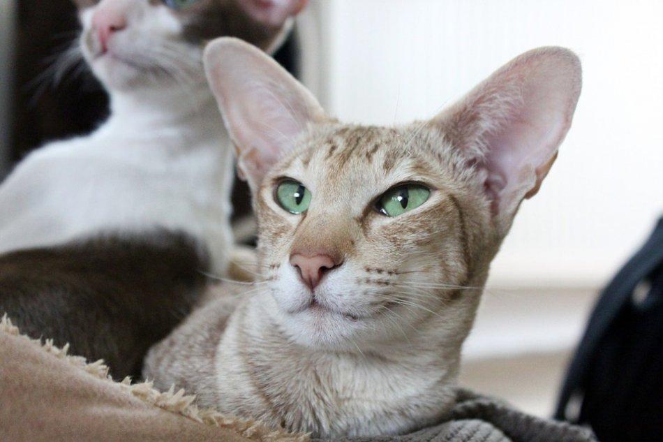 ориентальная кошка крупным планом