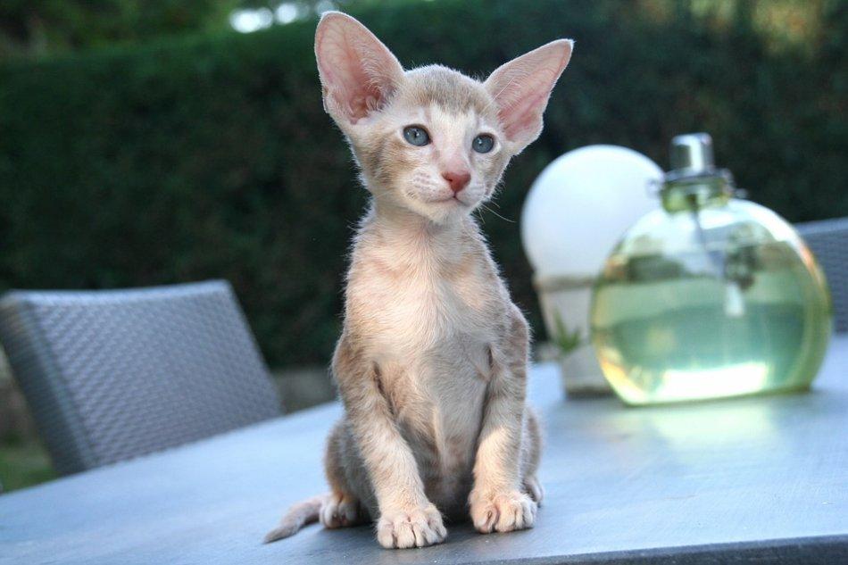 ориентал котенок