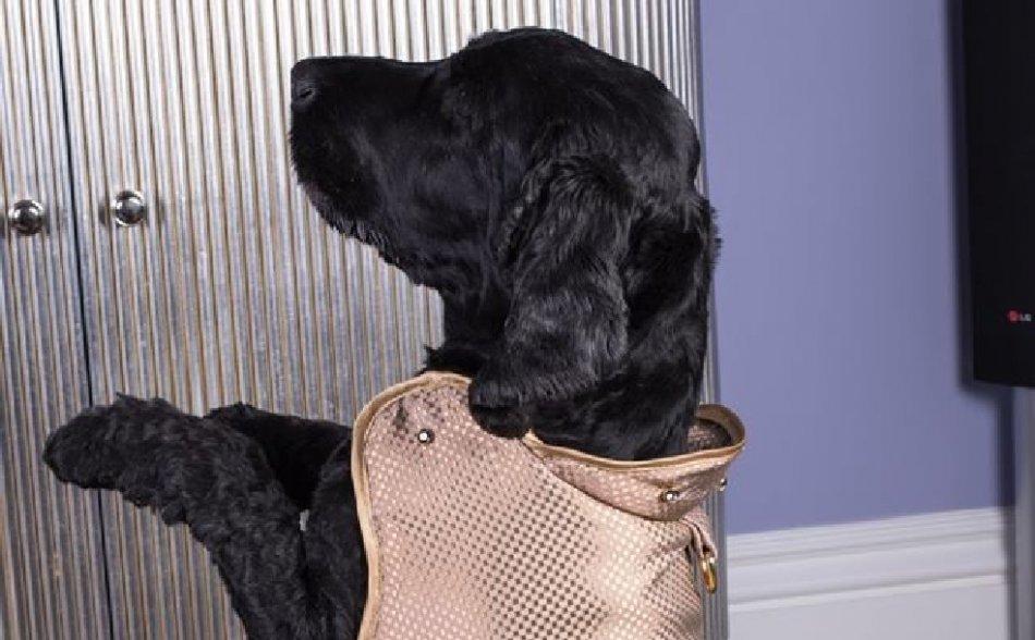 Черный спаниель в самом дорогом костюме для собак из золота фото