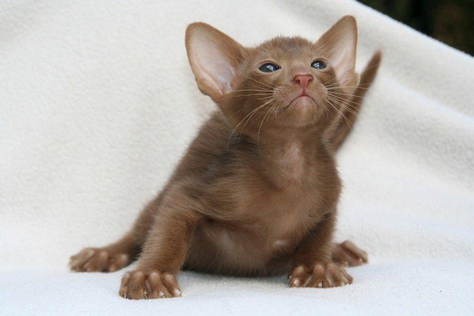 шоколадный котенок ориентала фото