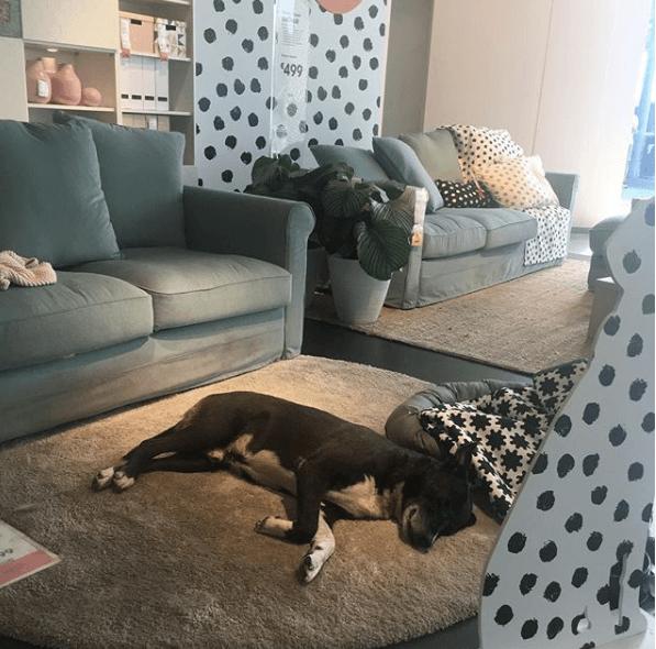 собака,пес,бездомное животное,икеа