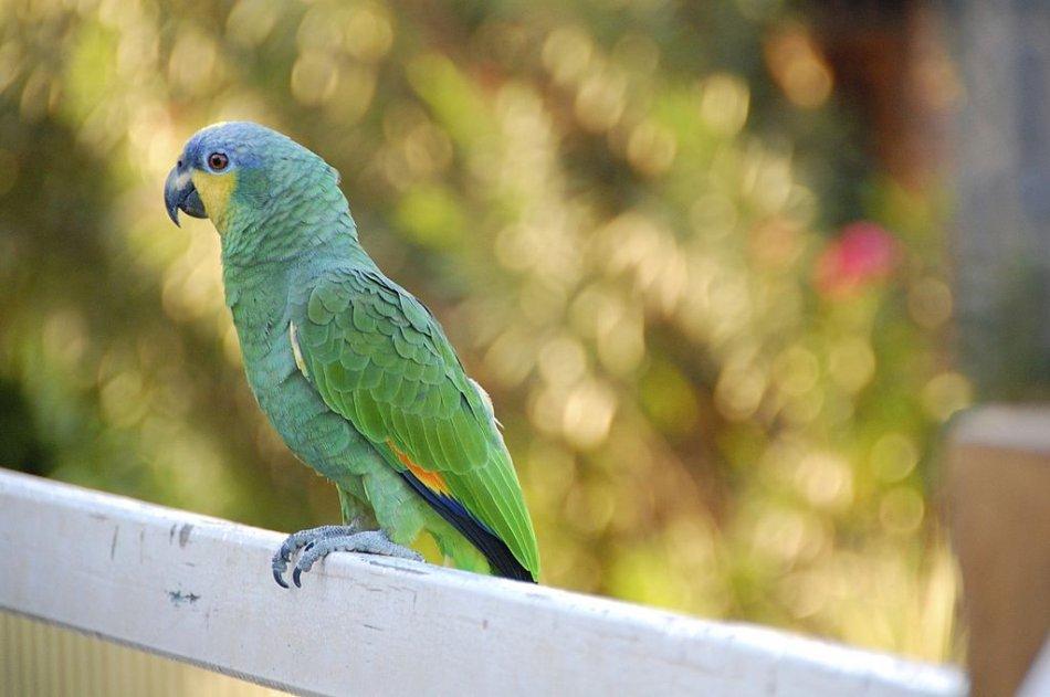 венесуэльский амазон попугай фото
