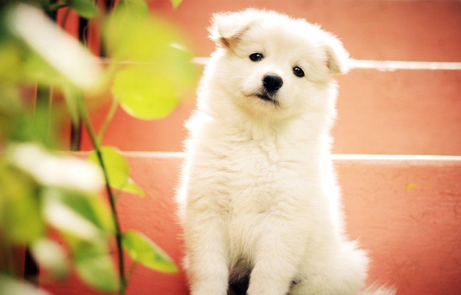 Белый пушистый щенок фото
