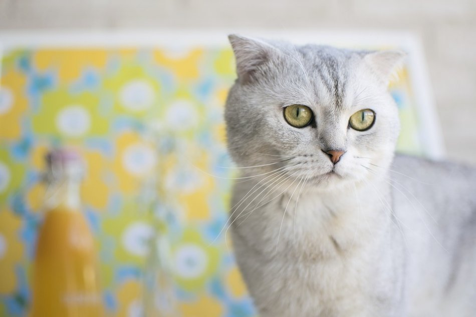 вислоухий кот фото