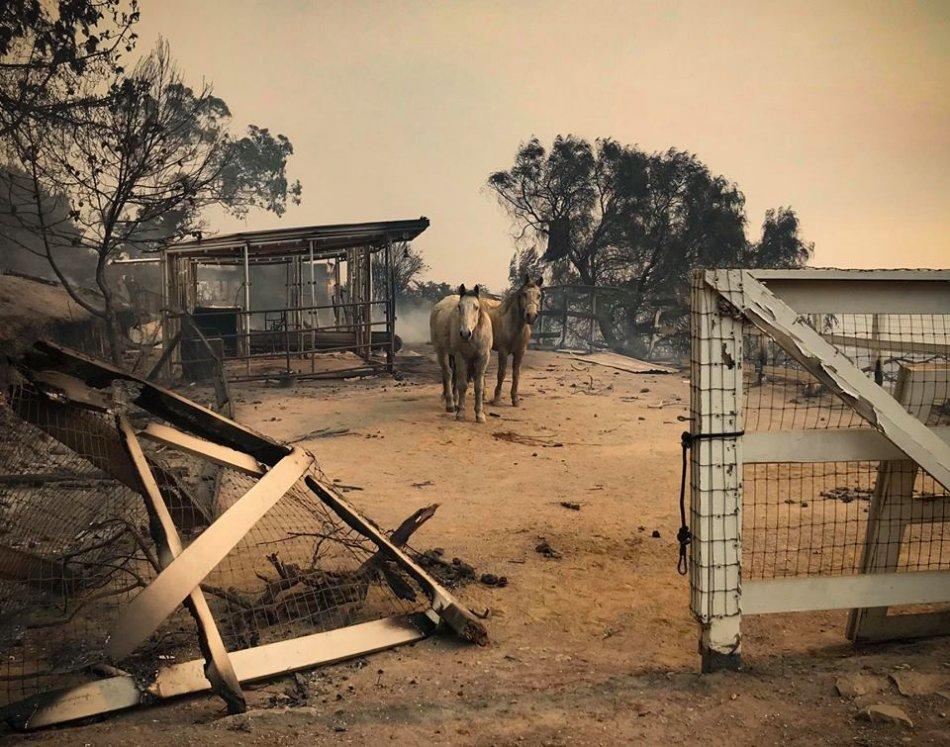Лошади, пострадавшие от пожаров в Калифорнии фото