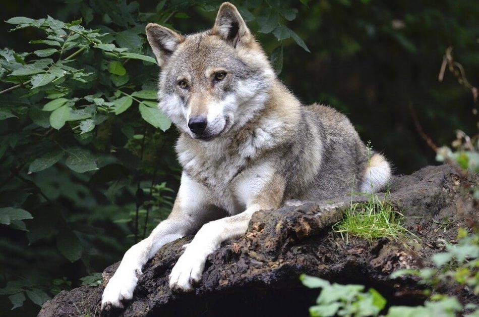 волк лежит на бревне фото