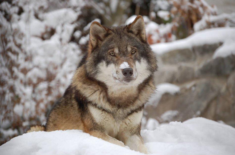 Волк на снегу фото