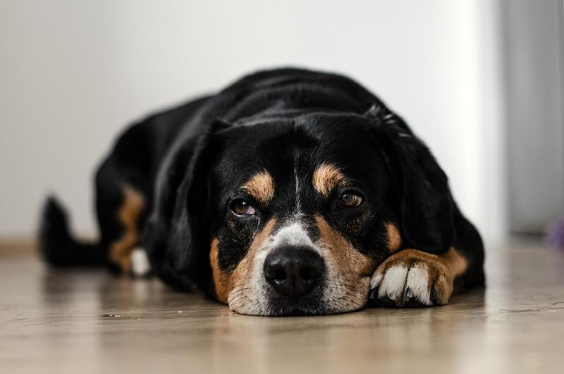 Собака лежит на полу фото