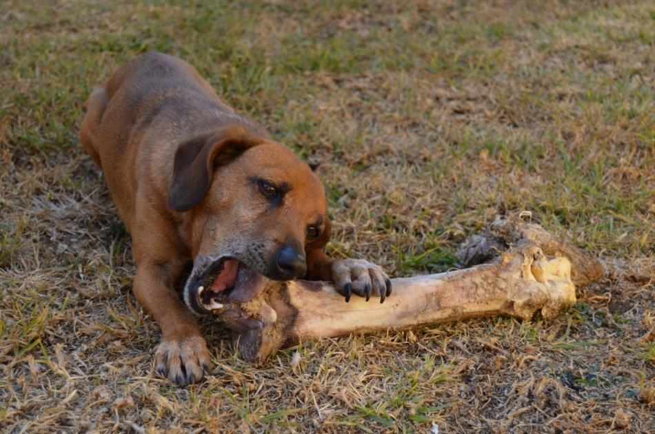 Собака грызет кость фото