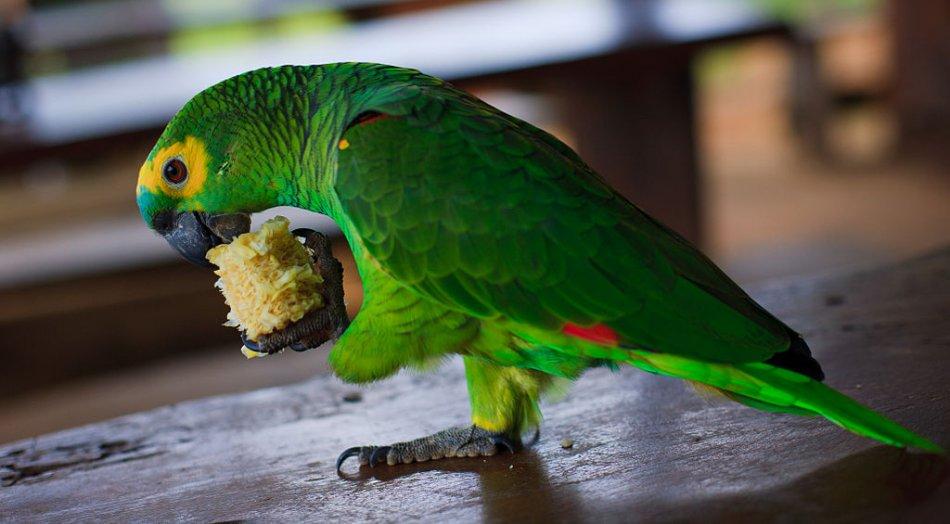 Синелобый амазон попугай фото