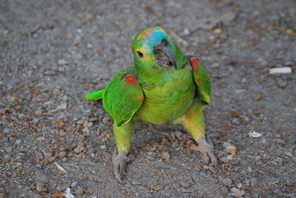 Синелобый амазон попугай сидит на земле фото