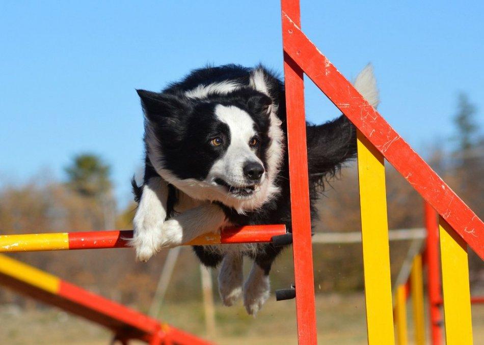 Собака бежит трассу аджилити фото
