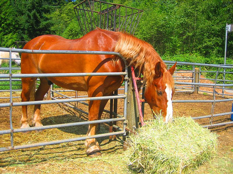 Рыжая лошадь ест сено фото