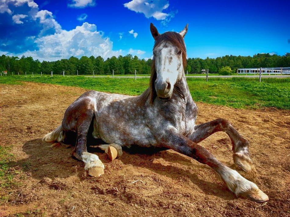 Серая в яблоки лошадь встает с земли фото