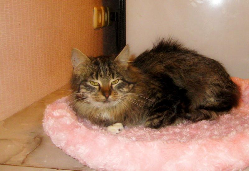 Пушистый полосатый котенок в дар фото