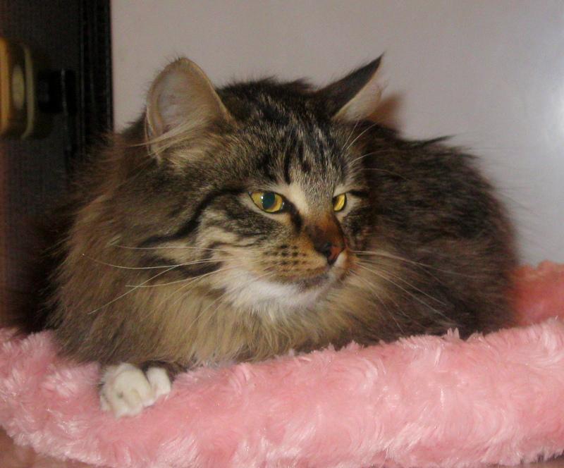 Пушистый полосатый котик в дар фото