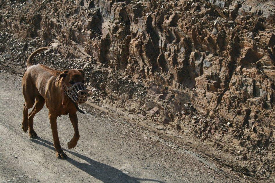 Собака в наморднике фото
