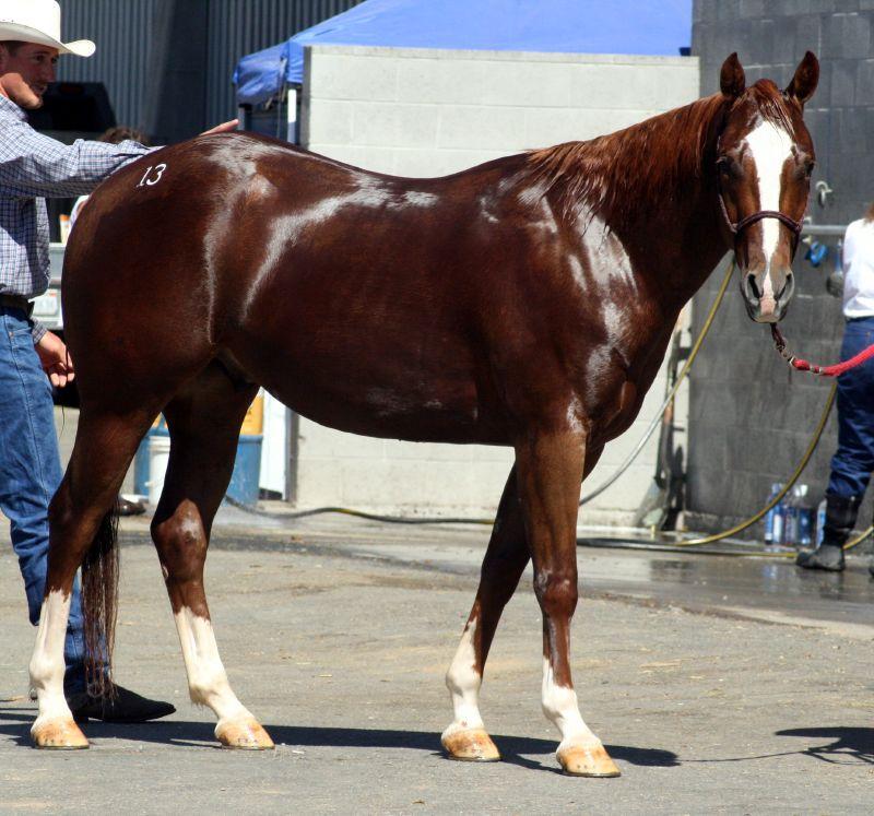 Лошадь породы квотерхорс фото