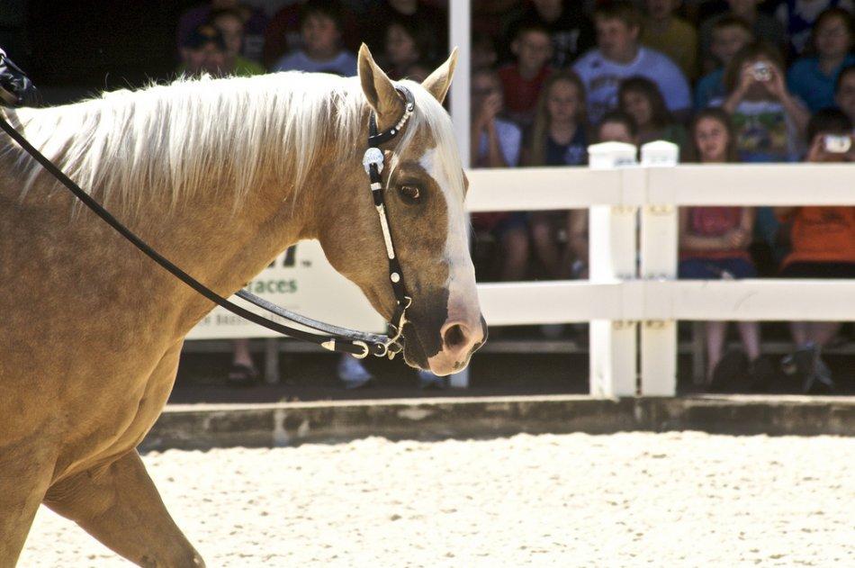 Лошадь квотерхорс масть паломино фото