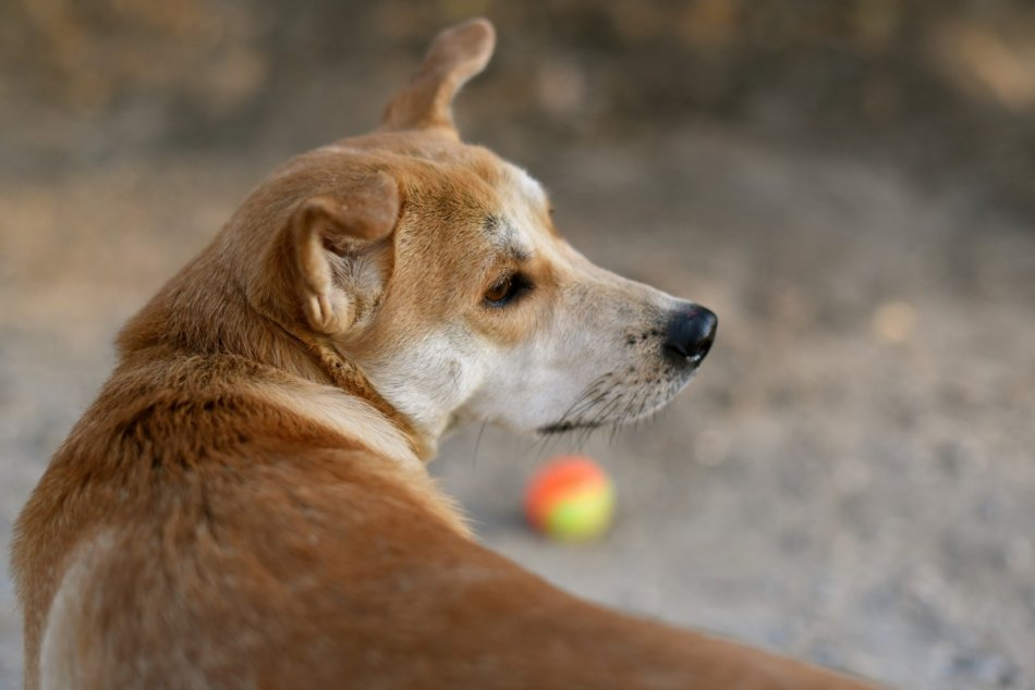 собака отворачивается от мяча фото