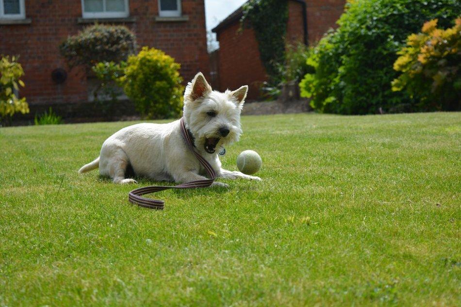 Вест хайленд уайт терьер играет с мячом на лужайке фото