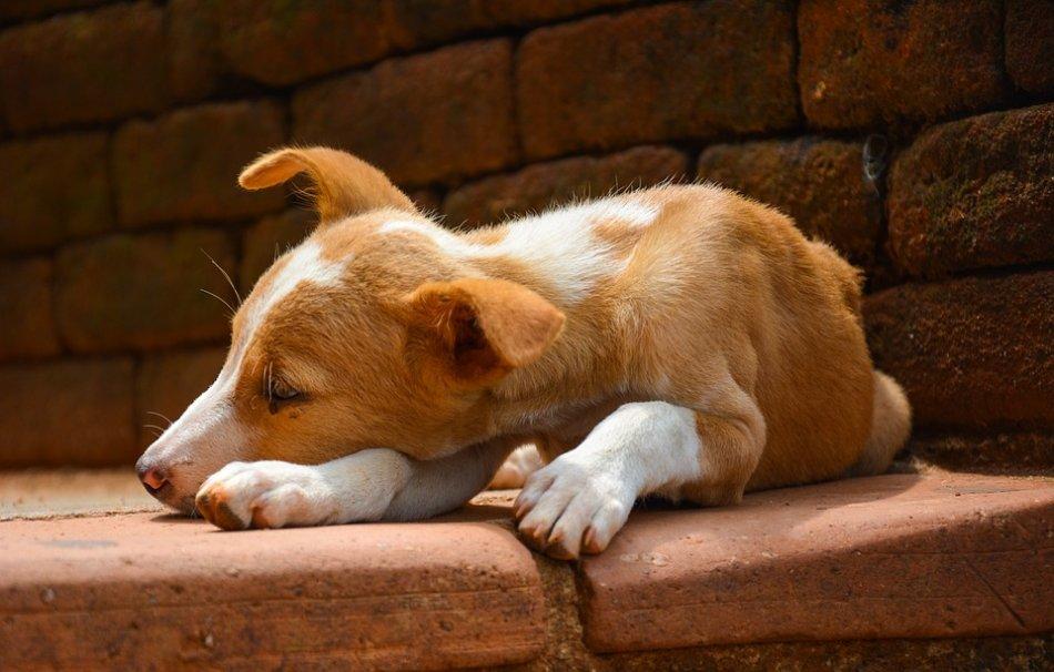 Рыжий с белым щенок спит на полу фото
