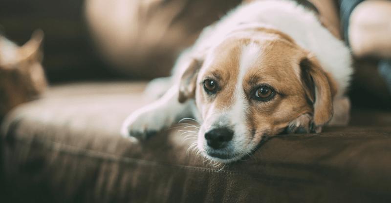 Грустная собака лежит на диване фото