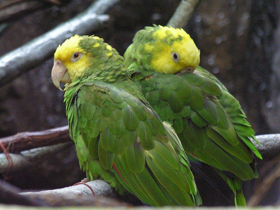 Желтоголовые амазоны фото