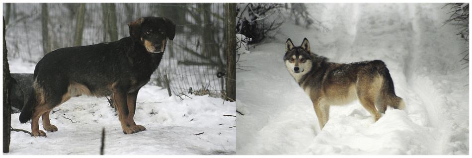 Собака и волк фото