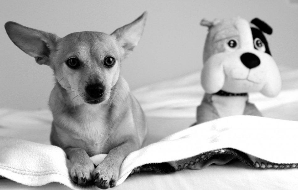 Собака с игрушкой черно-белое фото