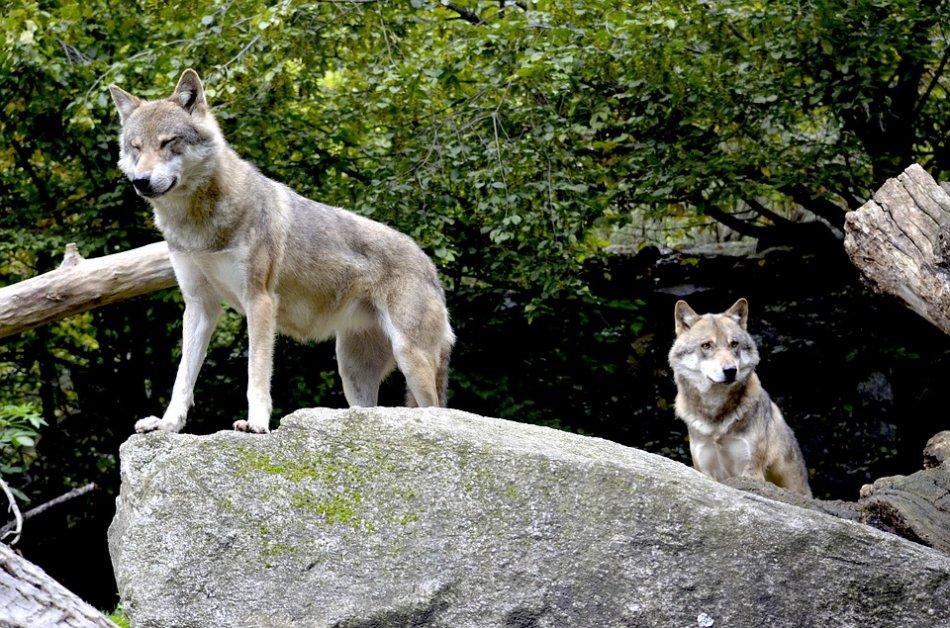 Волки в лесу фото