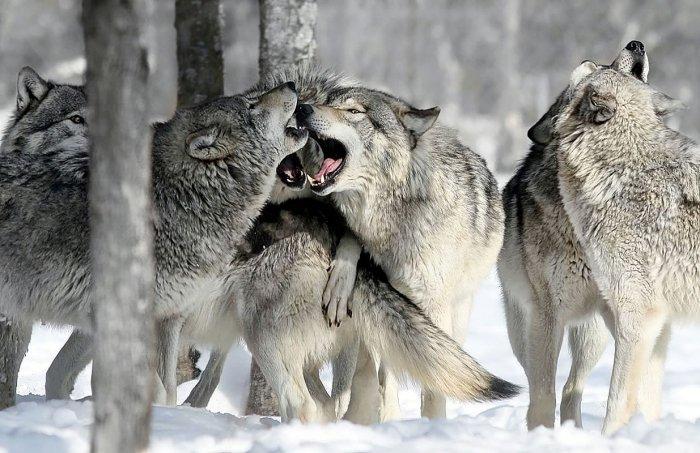 Волчья стая зимой фото