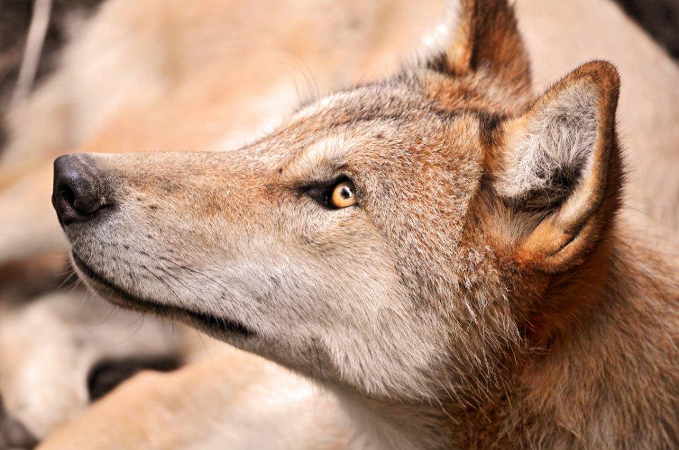 Молодой волк смотрит вверх фото