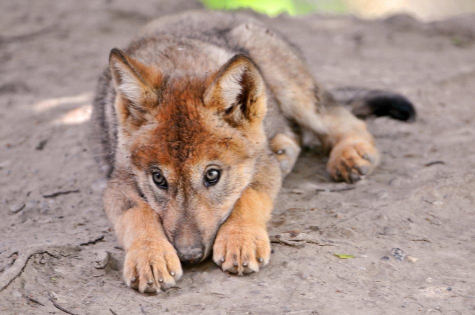 Волчонок лежит фото