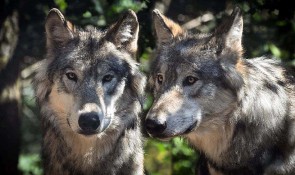 Пара волков фото