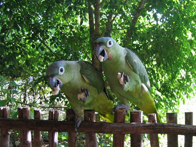 Амазоны Мюллера едят бананы фото