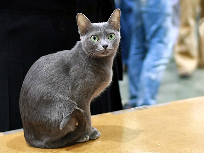 Кошка породы корат на выставке фото
